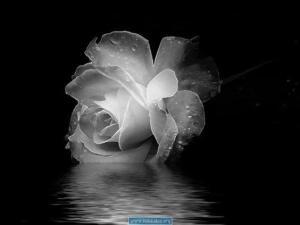 White-Rose-Wallpaper-1